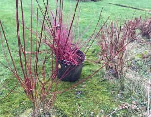 Cornus pruning how to prune cornus