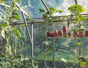 Cucumber growing in containers in greenhouse