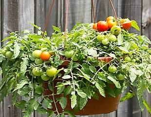 Growing Toms hanging basket