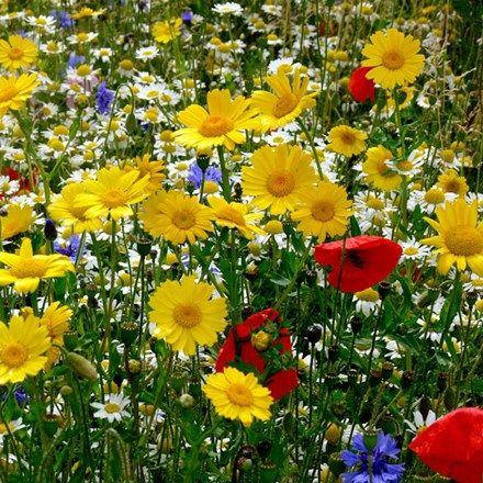 Cornfield wildflower seed