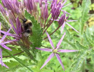 Allium  cristophii with Bee