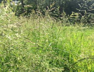 Natural lawn grasses