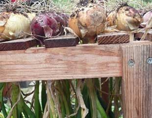 onions drying in the greenhouse