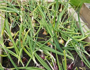 Onions in the veg plot