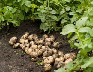 How to grow potatoes harvest