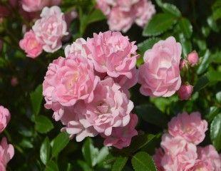 lovely soft pink roses 310
