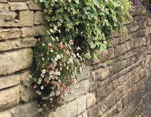 Erigeron on wall