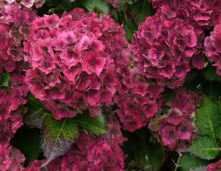 Autumn coloured Hydrangea