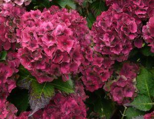 Autumn-colour-hydrangea 310