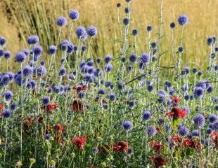 RHS  Harlow Carr Echinops Veitch's Blue, Mondara and Stipa gegantea credit Jason Ingram
