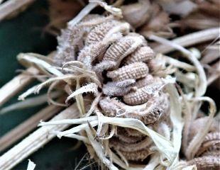 Calendula seed 310