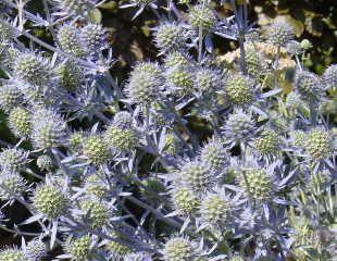 eryngium also know as Sea Holly