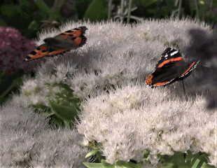 Butterflies on white Sedum