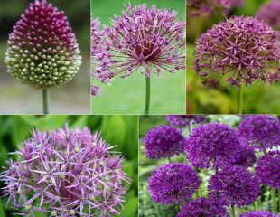 Allium collection by Crocus