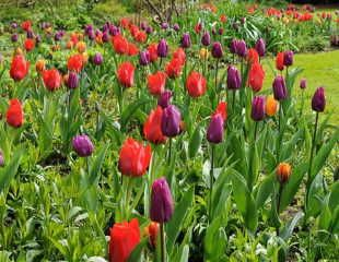 Royal tulip collection from Crocus