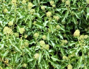 Common Ivy in flower