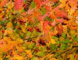 Rowan tree with berries
