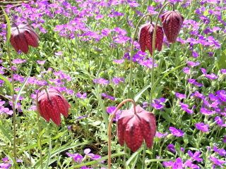 F. melegaris known as Snake's Head fritillary growing with Aubretia