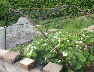 Alternative strawberry protection 310.jpg