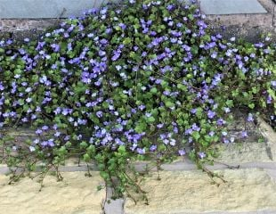 Ivy leaved Toad flax
