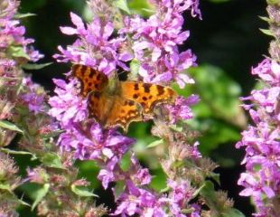 Purple Loosestrife with Comma butterfly