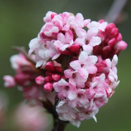 Viburnum × bodnantense 'Dawn'