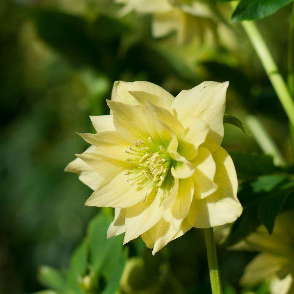 Helleborus x hybridus Harvington double yellow
