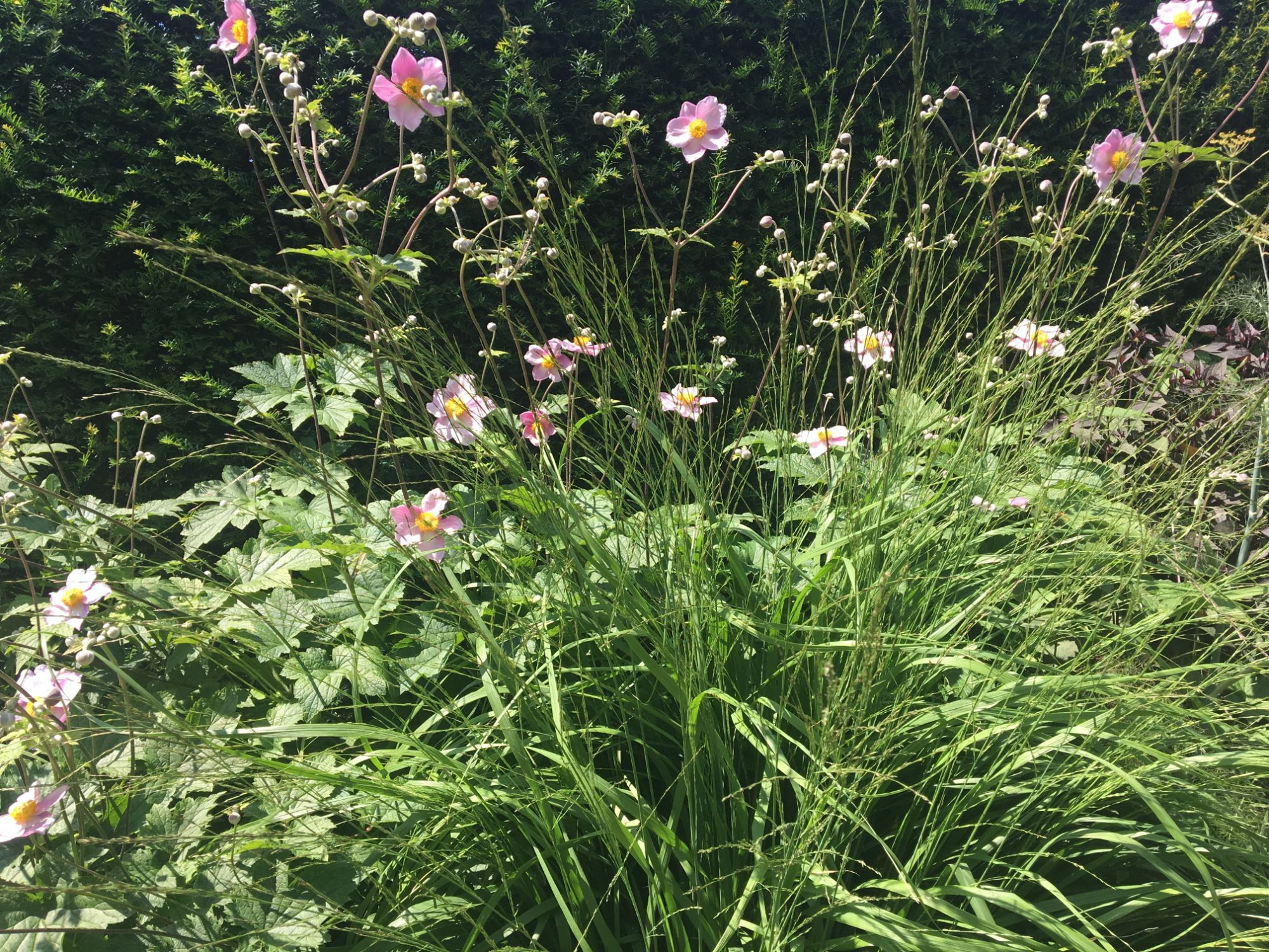 Japanese anemones with grasses