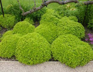 Clipped Oregano as topiary