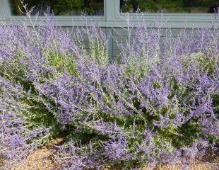 russian sage Perovskia atriplicifolia soft blue flowers attractive to bees