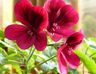Deep pink Pelargonium