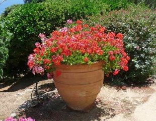 Established Pelargonium in container