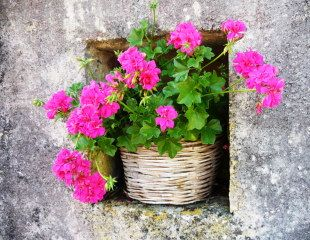 Fushia Pink Pelargonium