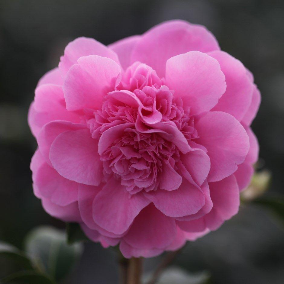 Camellia × williamsii 'Debbie'