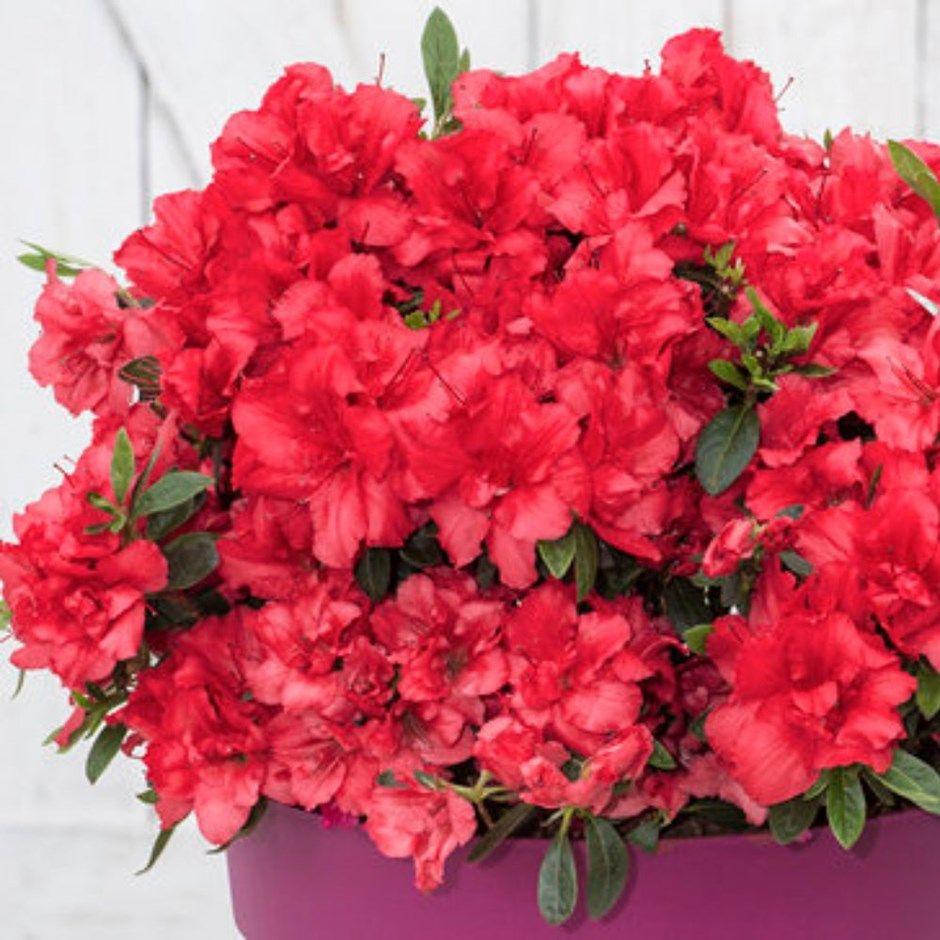 Rhododendron bloomchampion