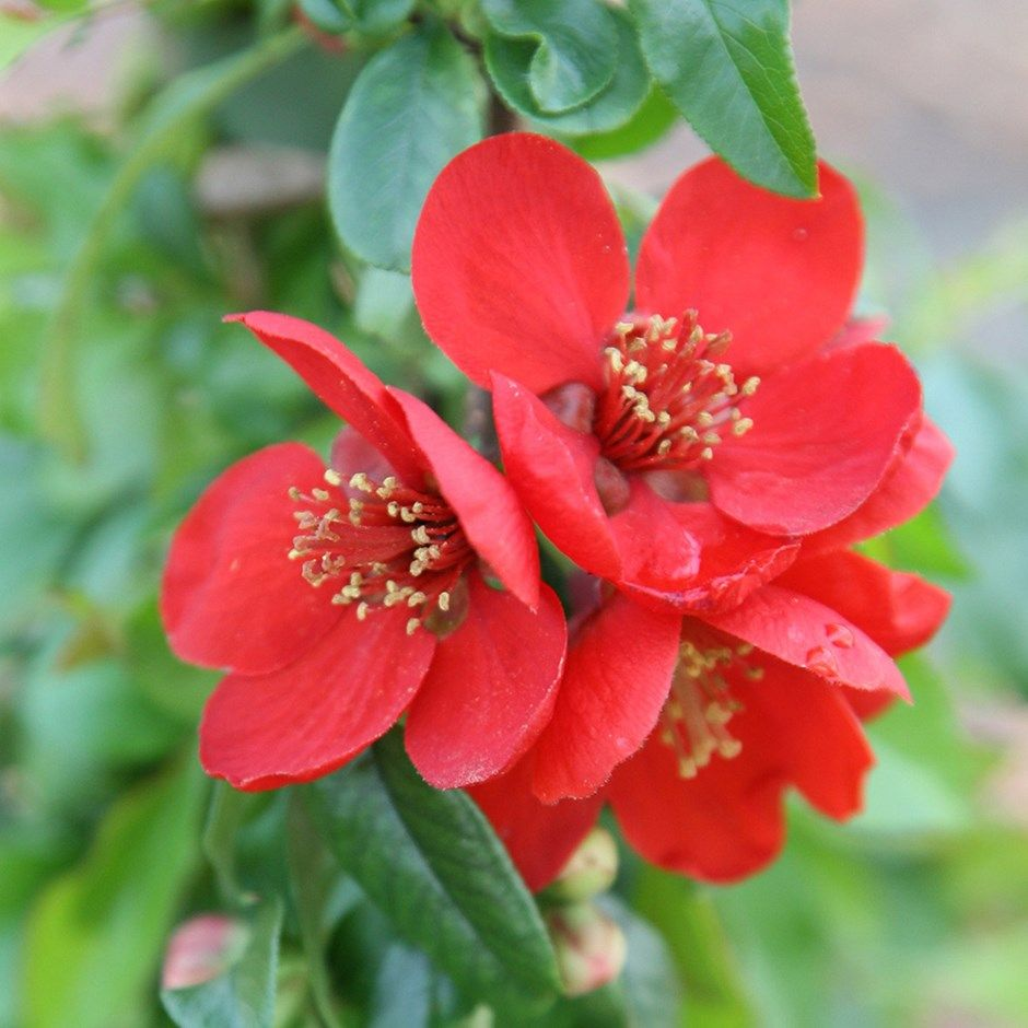Chaenomeles × superba 'Crimson and Gold' flowering quince
