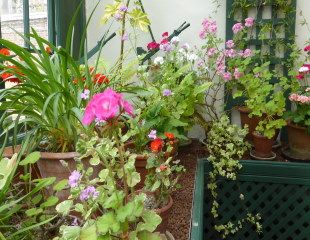 Colourful dispaly of Pelargoniums
