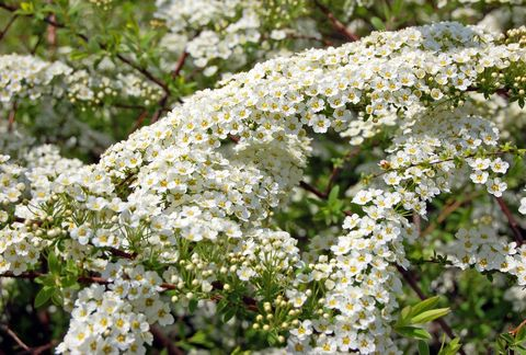 Spiraea 'Arguta' also known as Bridal Wreath