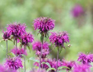 Purple flowering Monarda