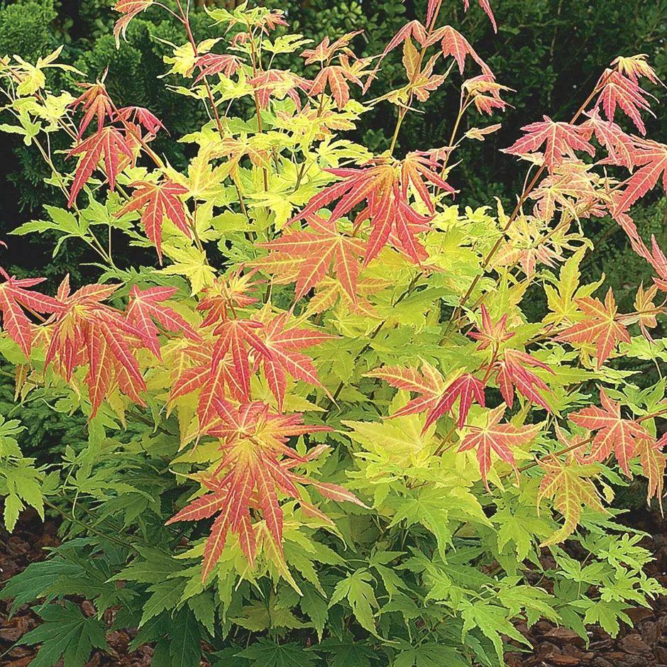 Acer palmatum 'Orange Dream' Japanese maple