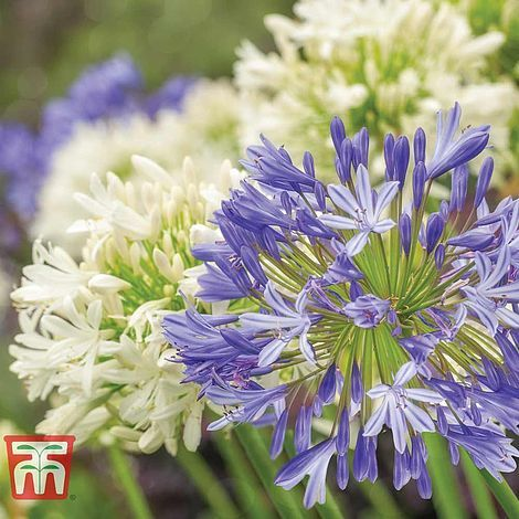 blue and white Agapanthus