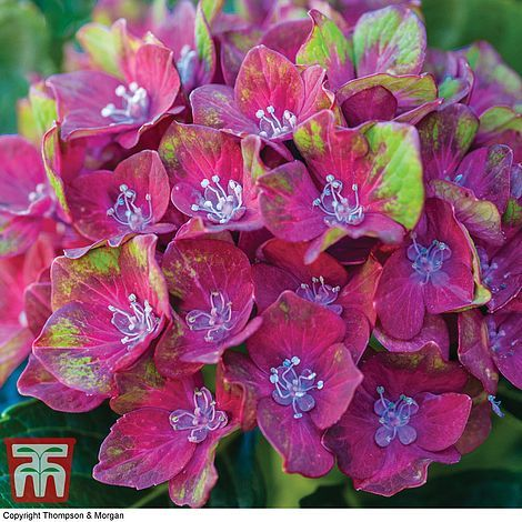 Hydrangea macrophylla Glam Rock Horwack