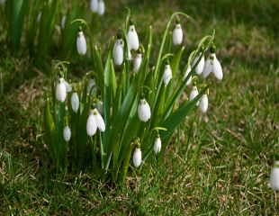snowdrops naturalised in a  lawn