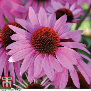 Rose pink Echinacea