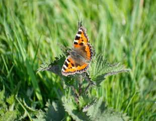 Small Tortoiseshell Aglais urticae butterfly sunning itself sitting on a stinging nettle Urtica dioica with its wings wide open