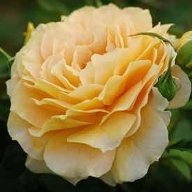 Rose Fraustina 275