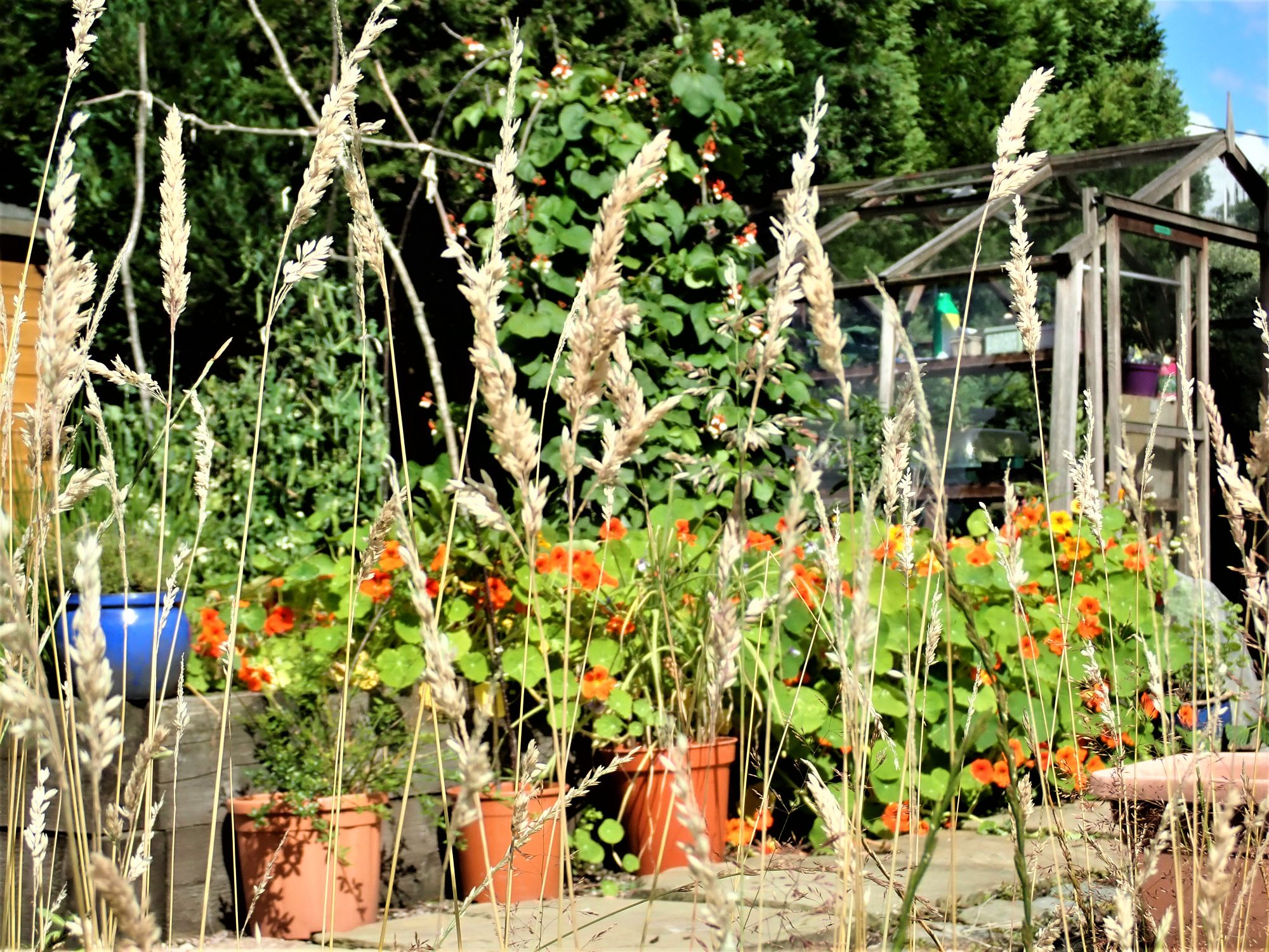 Nasturtiun in veg plot