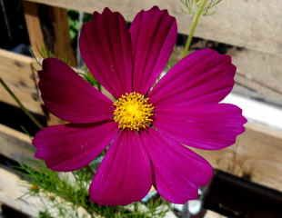 large flower of Cosmos
