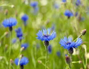 Stunning blue Cornflower