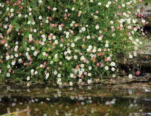 Erigeron near water
